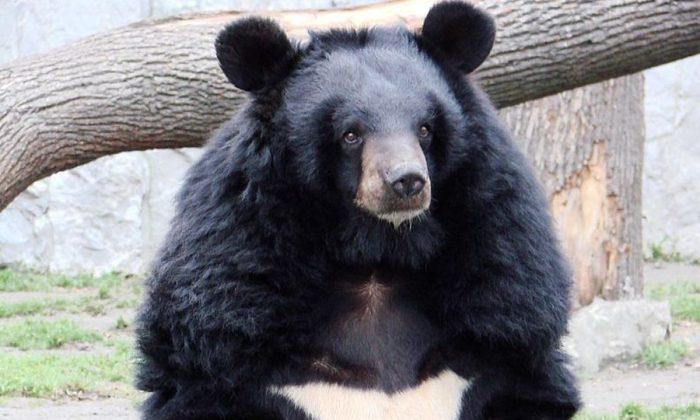 BIRMANIE – Un touriste filmé en train d'abattre un ours noir