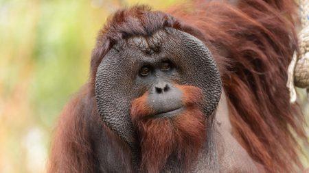 INDONÉSIE – un orang-outan criblé de balles, quatre suspects arrêtés