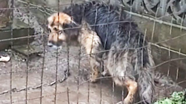 Enchaînée et maltraitée pendant 10 ans, la pauvre chienne finalement sauvée profite de ses 18 derniers mois