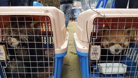 ASIE – Vendus comme animaux de compagnie, les pandas roux sont la nouvelle cible des braconniers