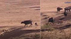 Ce jeune buffle est coincé par trois lions. Mais quand un lion l'attrape et court, quelque chose surgit