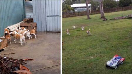 Un homme doit s'assurer de promener tous ces chiens. Drôle de méthode qu'il a trouvée – c'est ingénieux!