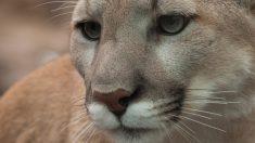 Puma de l'Est américain: l'espèce est déclarée officiellement éteinte – mais il reste un espoir
