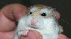 Son hamster refusé à bord de Spirit Airlines, une Américaine le jette dans les toilettes