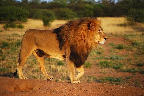 Un braconnier dévoré par des lions en Afrique du Sud
