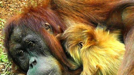 Bornéo: la déforestation est plus grande responsable du déclin des orangs-outans