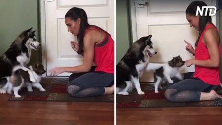 Un Husky montre à un chiot comment obéir aux ordres de leur maîtresse, c'est trop mignon!