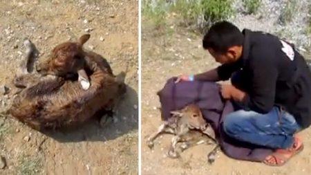 Un veau nouveau-né a été abandonné avec le cordon ombilical encore attaché – mais regardez sa réaction lorsqu'il reçoit sa première bouteille de lait