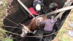 Une vache tombe dans une fosse septique et commence lentement à s'enfoncer – regardez comment les pompiers la sauvent d'une mort par noyade