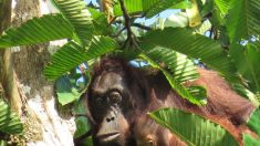 Chasse, trafic, huile de palme: qui tue vraiment les orangs-outans?