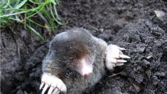 «En direct des espèces»: silence, elle creuse! Une nouvelle espèce de taupe découverte en France
