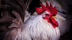 LYON – Une performance terrifiante sur des poulets fait réagir les défenseurs des animaux