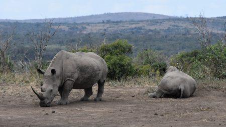 Sudan, le dernier rhinocéros blanc du Nord mâle est mort au Kenya à l'âge de 45 ans