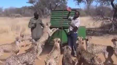 Des hommes courageux sortent pour nourrir 30 guépards qui se battent pour chaque bouchée