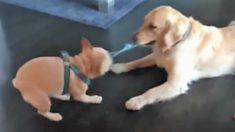 Avez-vous remarqué que les chiens sont souvent maladroits et innocents? En voici quelques exemples