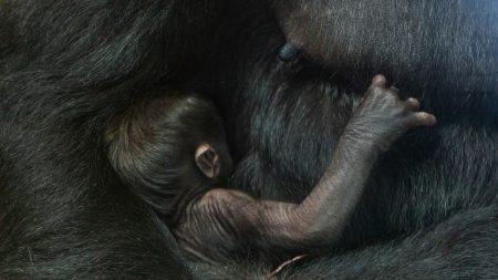 Naissance rare d'un bébé gorille au zoo de Washington aux États-Unis