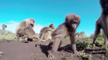 Un homme en Éthiopie trouve un type rare de singes, les géladas, et il les filme avec des GoPro qu'il a installées un peu partout