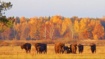 Pologne: la «destruction inimaginable» de la forêt millénaire de Bialowieza condamnée par l'UE