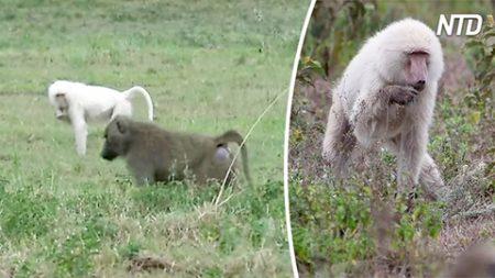 Un babouin blanc rare vit en Tanzanie, découvrez la raison pourquoi c'est si rare!
