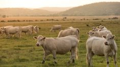Elle s'enfuit d'une voiture volée, des vaches la prennent en chasse
