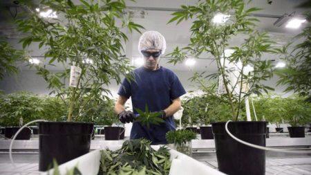 Oui, la marijuana peut créer une dépendance