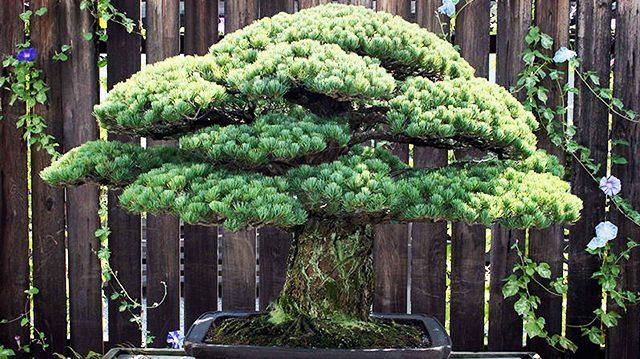 Ce bonsaï de 391 ans a survécu au bombardement dévastateur d'Hiroshima, une beauté «inestimable»