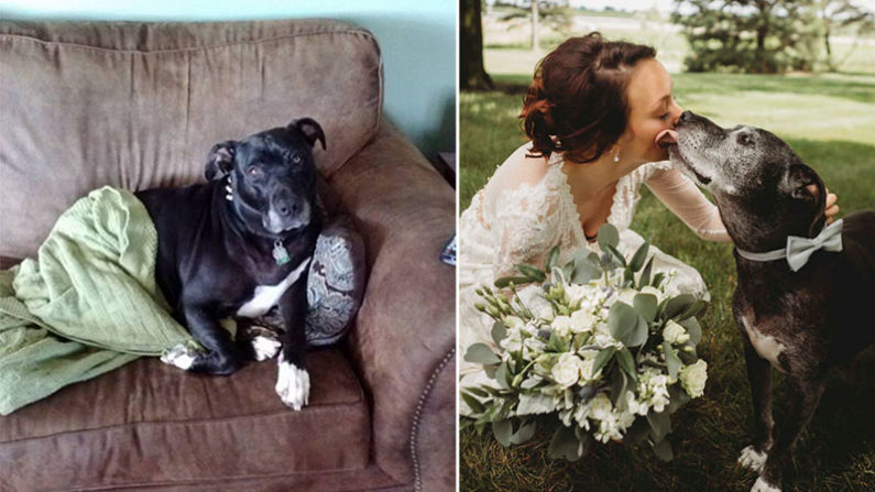 Un pit-bull en phase terminale survit pour assister au mariage de sa maîtresse, elle-même atteinte de la même maladie