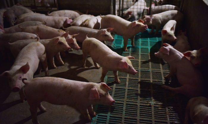 Chine: les autorités sont soupçonnées d'avoir caché une possible propagation de la peste porcine africaine