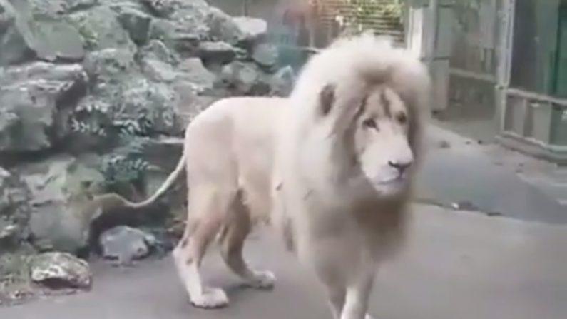 Un lion majestueux est pris au dépourvu par l'attaque surprise d'une bulle de savon
