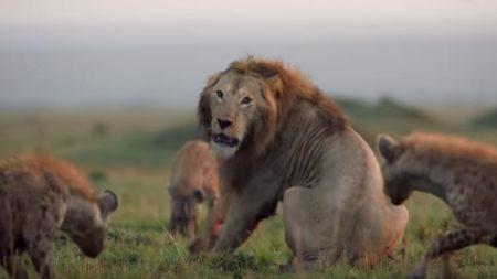 Un grand lion se défend contre 20 hyènes lors d'un affrontement, une Vidéo de la BBC