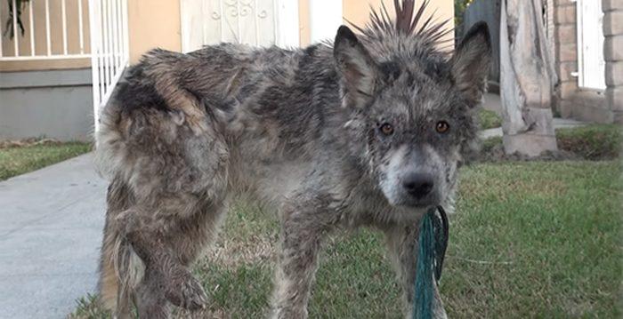 Un animal errant et malade est pris pour un loup jusqu'à ce que ses sauveteurs fassent un test d'ADN