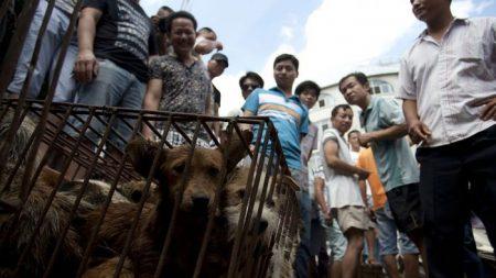 «L'événement canin le plus important du monde» se tiendra en Chine juste avant le festival annuel de la viande de chien