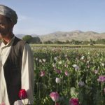 Des perroquets accros à l'opium attaquent les cultures de pavot en Inde