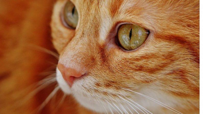 L'Australie projette d'abattre 2 millions de chats de gouttière