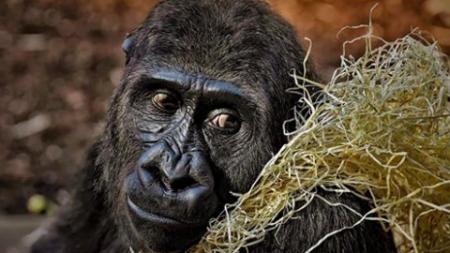 Les derniers gorilles du monde en danger critique d'extinction posent pour des selfies incroyables avec des gardes forestiers anti braconnage.