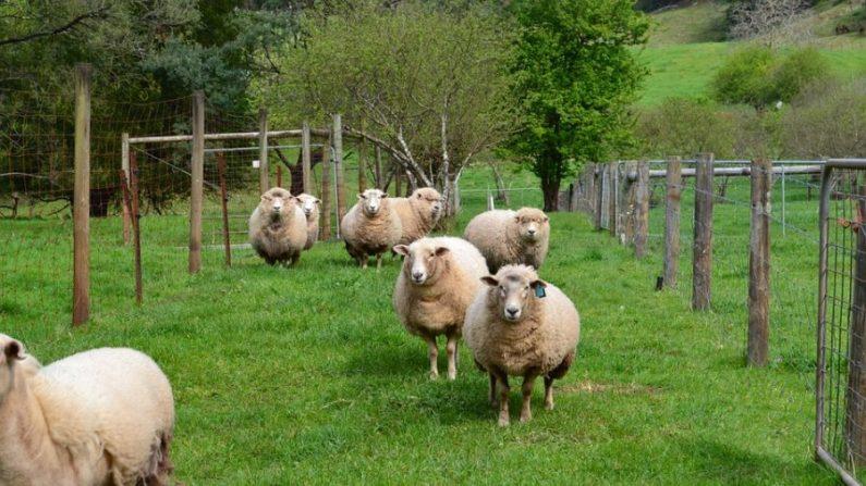 Une fermière écossaise peint des moutons dans des motifs à carreaux pour faire une blague aux touristes