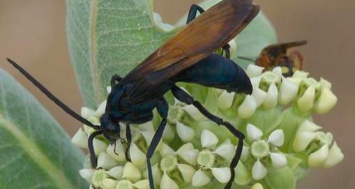 Une piqûre de cet insecte est si mauvaise que les experts disent: «Allongez-vous et criez.»
