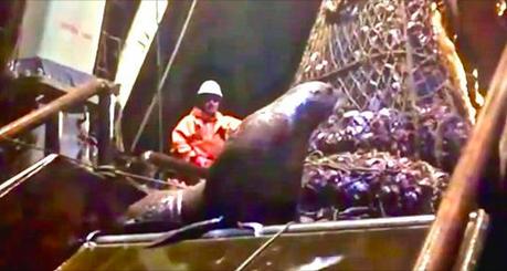 Une otarie se fait prendre dans un filet de pêche bien rempli, mange le poisson et refuse de quitter le navire