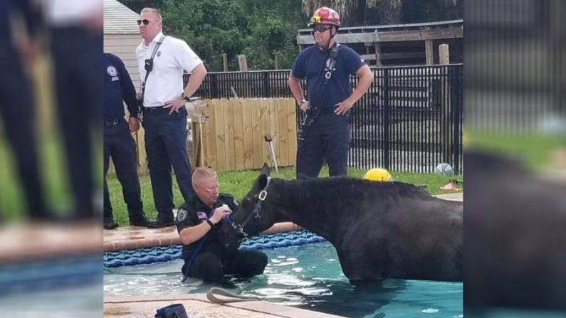 Un cheval tombé dans une piscine familiale meurt tragiquement quelques heures après avoir été secouru